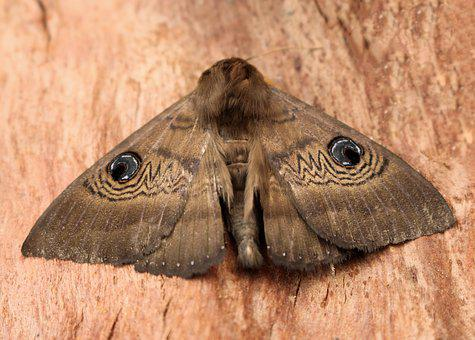 Moth, Blue Eye Pattern, Camouflage, Brown, Wings, Large