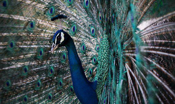 Peacock, Peafowl, Pattern, Plumage, Colorful, Turquoise