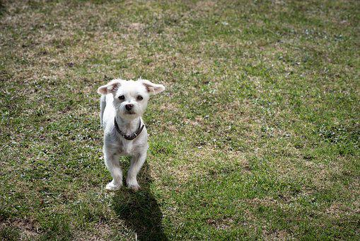 Dog, White, Small, Pet, Animal, Garden, Meadow, Grass
