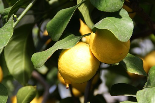 Lemon, Tree, Plant, Fruit, Citrus Fruits, Lemon Tree