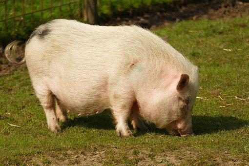 Pig, Hog, Potbellied Pig, Sow, Nipple, Suckle, Curly