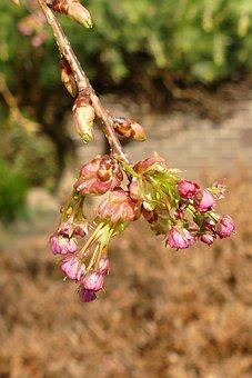 Prunus, Japanese Cherry, Blossom, Button, Tree, Pink
