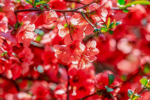 Bill Quince, Blossom, Bloom, Red Orange