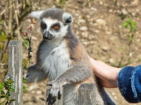 Ring Tailed Lemur, Lemur Catta, Lemur, Madagascar