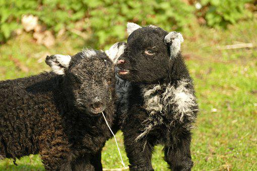 Lamb, Sheep, Fauna, Young, Farm, Wool, Agricultural