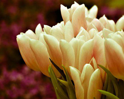 Tulips, Bouquet, Flowers, Spring, Bloom, Tulip, Flora