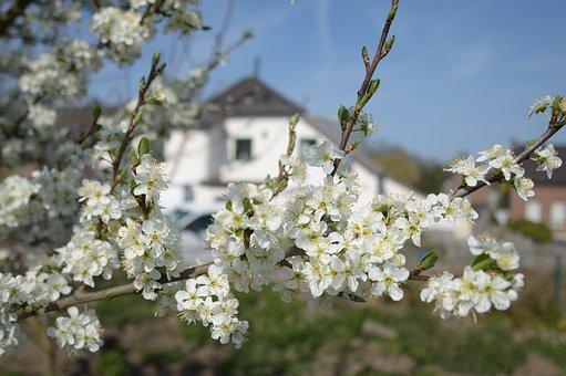 Fruit Tree Blossom, Mirabelle Plum Blossom, White