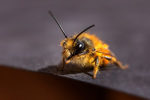 Insect, Wild Bees, Bees, Nature, Close Up, Bee