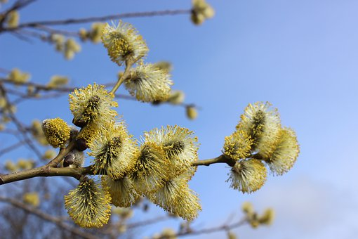Willow Catkin, Flowers, Spring Awakening, Pollen