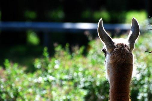 Lama, Animals, Llama, Scout, Cute, Animal Life, Zoo