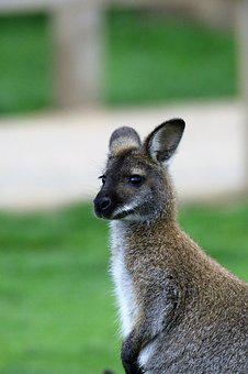 Wallaby, Kangaroo, Animal, Mammal, Nature, Australian