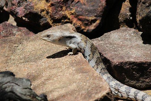 Lizard, Bluetongue, Australian, Fauna, Animal, Blue