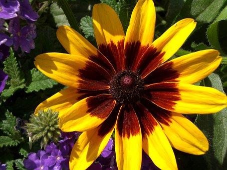 Black-eyed Susan, Yellow Daisy, Daisy, Brown-eyed Daisy