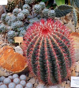 Cactus, Ferocactus Pilosus, Prickly, Cactus Greenhouse
