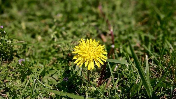 Dandelion, Yellow, Flower, Grass, Green, Nature, Spring