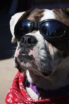 Bulldog, Dog, Bull Dog, Animal, Pet, Canine, Goggles