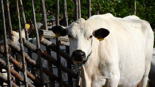 Cow, Fjällko, Swedish, Mountain, Sweden, White