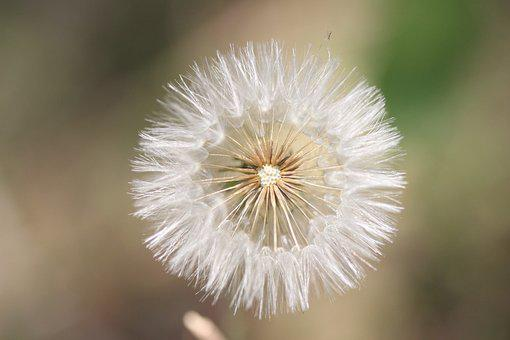 Dandelion, Flower, Flower Of The Field, Nature, Flowers