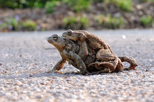 Frogs, Toads, Amphibians, Couple, Old Couple