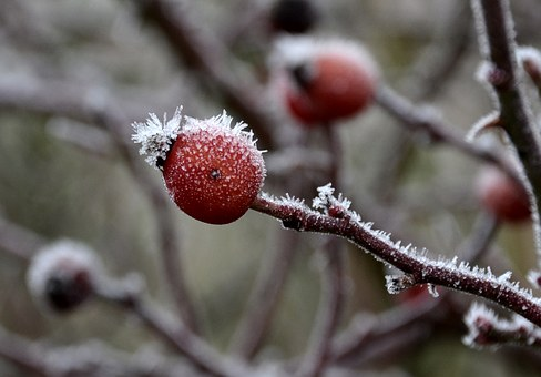 Frost, Rose Hip, Winter, Cold, Winter Magic