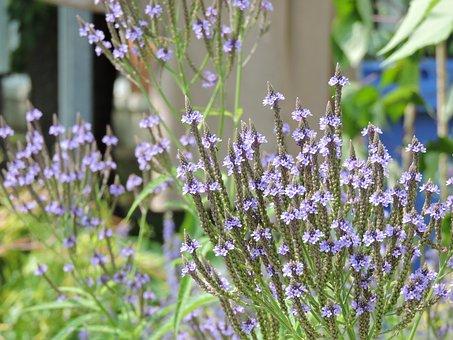 Hastee Vervain, Plant Native To Quebec, Garden