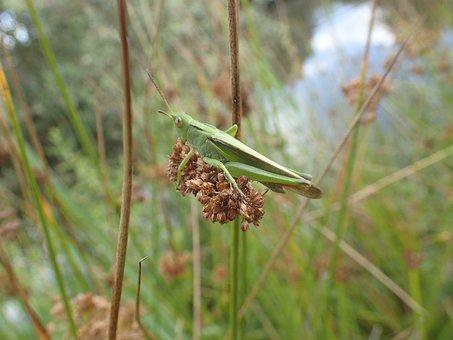 Desert Locust, Grass, Nature