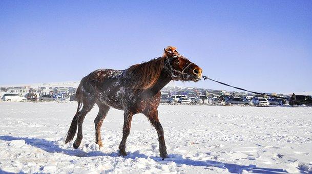 Horse, Race Horse, Mongolian, Speed, Horse Racing