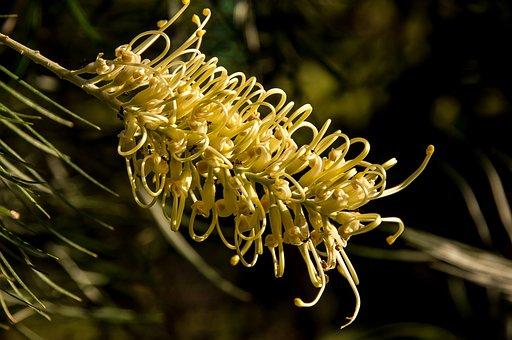 Grevillea, Moonlight, Variety, Flower, Australian