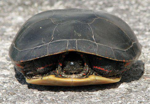 Painted Turtle, Chrysemys Picta, Withdrawn, Shell