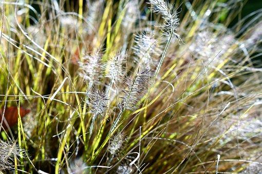 Bearskin Grass, Grass, Plant, Nature, Green, Grasses