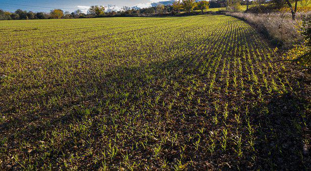 Wheat, Winter Wheat, Plantation, Agriculture