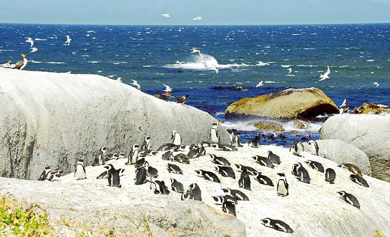 Cormorant, South Africa, Penguins, The Cap