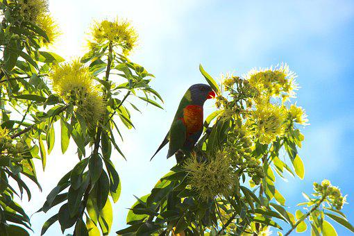 Lorikeet, Parrot, Native Flower, Flower, Hello, Tree