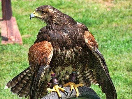 Eagle, British, American, Canada, Columbia, Vancouver