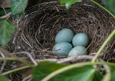 Nest, Blackbird Nest, Blackbird, Bird's Nest, Spring