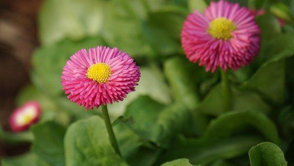 Tausendschön, Flower, Blossom, Bloom, Pink, Yellow