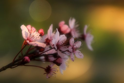 Almond Flowers, Flowers, Spring, Pink, Bloom, Tree