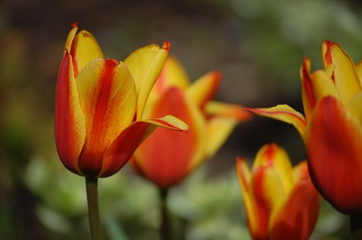 Tulip, Yellow, Red, Plant, Flowers, Blossom, Bloom