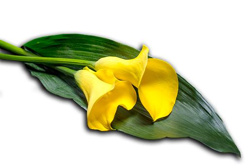 Calla, Leaf, Flower, Nature, Blossom, Bloom, Plant
