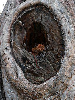 Tree, Wood, Eye, Brown, Chestnut