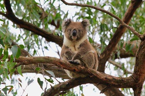 Koala, Koala Bear, Australia, Animal, Cute, Marsupial