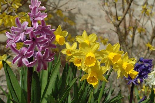 Daffodil, Spring, Daffodils, Flower