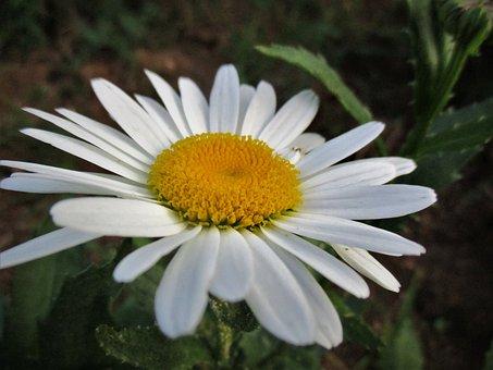 Daisy, Flower, Spring, Nature, White, Summer, Daisies