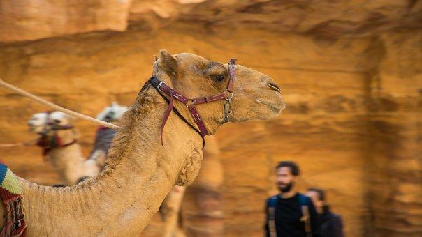 Petra, Dromedary, Jordan, Desert
