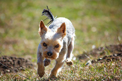 Dog, Out, Meadow, Yorki, Terrier, Animal, Pet, Spring