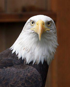 Raptor, Eagle, Majestic, Birds, Bald-eagle