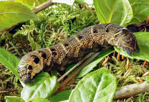 Elephant-hawk-moth, Larva, Caterpillar, Insect, Nature