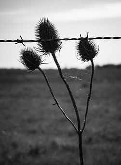 Thistle, Flower, Nature, Thorny, Thorns