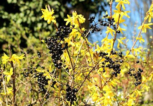 Privet, Black Fruit, Forsythia, Spring, Nature, Sunny