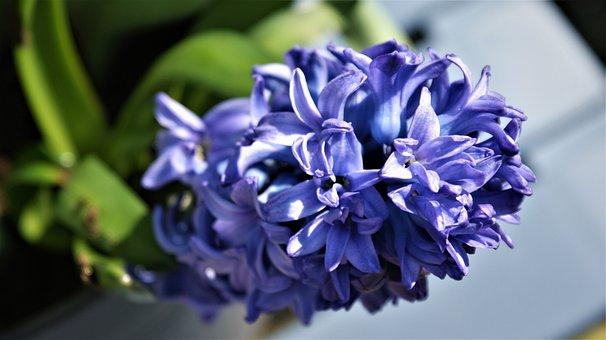 Flower, Purple, Hyacinth, Spring, Fragrant